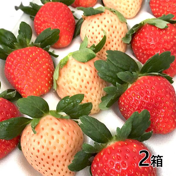 おぐま屋 茨城県産 夢ファームの紅白いちごセット2箱